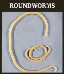 roundworms.jpg